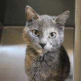 Génétic, un chat d'une grande rareté découvert au Canada