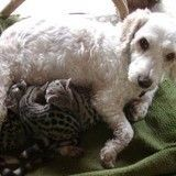 Une chienne se prend d'amour pour d'adorables félins orphelins et leur sauve la vie