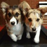 Gifs animés : Quand les chiens nous imitent
