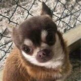 Ce Chihuahua s'est fait kidnapper… par une mouette !