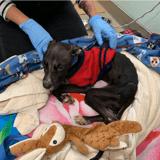Retrouvé squelettique et en état d'hypothermie en plein été, ce chien a vécu l'enfer !