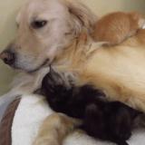 Trois chatons envahissants et un chien très patient (Vidéo du jour)