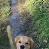 Le Golden Retriever court après un bâton, mais revient avec autre chose dans la bouche !