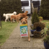 Une équipe de Golden Retriever pour ranger les courses… (Vidéo du jour)