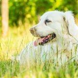 Ayant très chaud pendant l'été australien, ce Golden a trouvé un endroit saugrenu pour se rafraîchir ! (Vidéo)