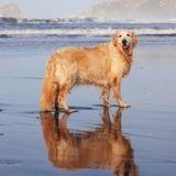 Quand sa Golden devient trop vieille pour aller à la plage, elle reçoit de l'aide d'une source étonnante !
