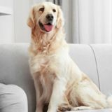 Le raisin, un fruit  très dangereux pour la santé de votre chien