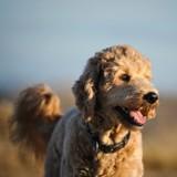 10 photos de Goldendoodles qui vont vous faire fondre !