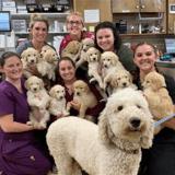 Une photo avec PLEIN de Goldendoodles devient virale : les réactions sont surprenantes