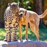 Un chien et un guépard, meilleurs amis (Vidéo du jour)