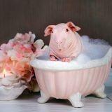 Strawberry Shortcake, le cochon d'inde qui pose nu dans son bain pour la bonne cause