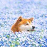 Ce Shiba Inu adore poser au milieu des champs de fleurs