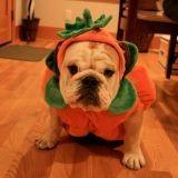 Quand les chiens fêtent Halloween (Vidéo du jour)