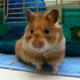 5 choses à savoir sur le hamster