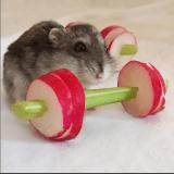 Quand des hamsters font de la gym... avec des radis et des carottes !