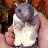 Abandonné, ce hamster sans poil a reçu le plus joli des pulls pour se réchauffer