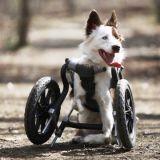 Un chien handicapé qui vit très bien (Vidéo du jour)
