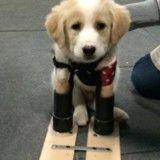 Né avec seulement deux pattes, un chiot reçoit des prothèses pour apprendre à marcher