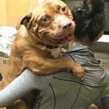 Depuis son sauvetage, Meaty le pitbull ne fait plus que sourire
