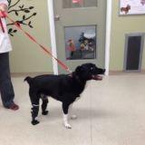 Trouvé gelé dans la rue, ce chien peut enfin marcher sur 4 pattes grâce à ses prothèses