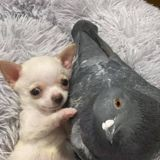 Elle pose un pigeon qui ne sait voler à côté d'un Chihuahua handicapé et s'émerveille de ce qu'il se passe ensuite