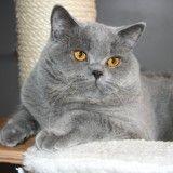 British Shorthair : tout savoir sur cette race de chat