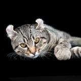 Highland Lynx : Tout savoir sur cette race de chat !