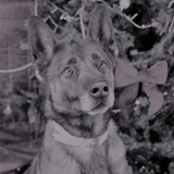 Au travers d'un hommage poignant pour un chien décédé au refuge, les bénévoles dénoncent la mode des malinois
