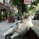 Bientôt un monument pour Tombili, le chat turc star du Web ?