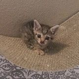 Ce minuscule chat deux fois plus petit que les autres a bien changé en deux mois