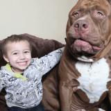 Faites connaissance avec Hulk, le Pitbull géant qui pourrait bien être le plus grand du monde