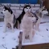 Ces Husky adorent chanter le matin pour les voisins (Vidéo du jour)