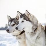 Des balades avec des chiens de traîneau bientôt possibles en Seine-Maritime !