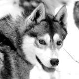 100 chiens de traineau tués : l'autopsie des huskies va commencer