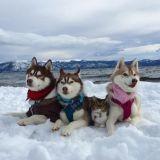Sauvé de la mort, ce chaton a lié une amitié incroyable avec trois huskies