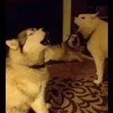 Pour la Saint-Valentin, une meute de huskies chante une sérénade à sa maîtresse (Vidéo du jour)