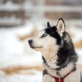 Cette vidéo virale d'un Husky a brisé le coeur des internautes et provoqué des arrestations