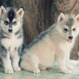 Deux Husky abandonnés dans un parc avec un petit mot qui fend le cœur