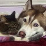 Ce chat est le boss d'une meute de Husky (Vidéo du jour)
