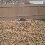 Butch, le Husky qui adore l'automne (Vidéo du jour)