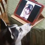 Le Husky regarde la tablette : en voyant qui s'affiche sur l'écran, il se met à hurler ! (Vidéo)