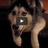 Craquez devant cet adorable Husky capable de dire «I love you» (Vidéo du jour)