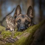 Le chien de berger et sa meilleure amie la chouette