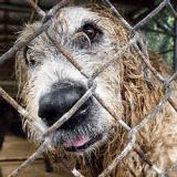 Une centaine d'animaux secourus dans un horrible élevage de Lévriers Irlandais
