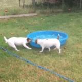 Quand un Jack Russell décide de déménager sa piscine... (Vidéo du jour)