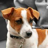 Le Jack Russell Terrier : comment l'éduquer et le rendre heureux ?