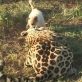 Le Jaguar fonce sur le chien, puis l'impensable se produit (Vidéo du jour)