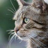 Colmar : Un chat retrouvé mutilé a dû être euthanasié