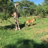Jazz, le petit girafon abandonné et recueilli par un Berger belge, est mort
