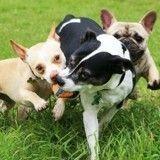Comment jouer avec plusieurs chiens ?